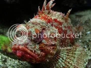 Scorpion Fish!