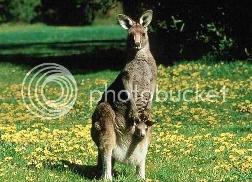 kangaroo di australia