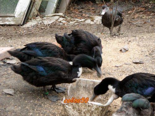Canard becs et plumes - Comment manger une figue de barbarie ...