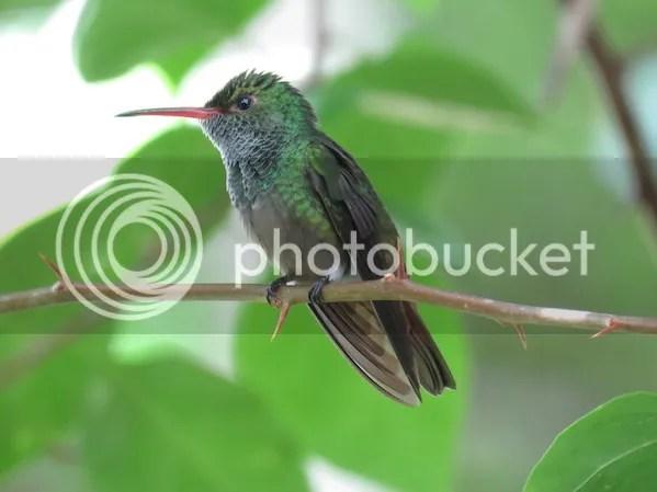 Rufous-tailed Hummingbird by Seth Inman - La Paz Group