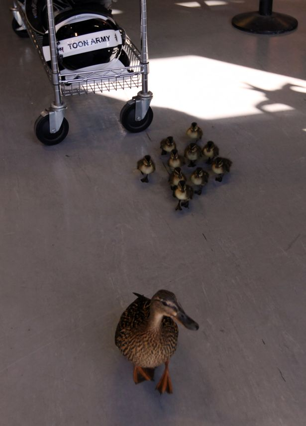 A mother duck and her ducklings walk through the Newcastle United shop