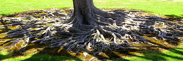 An image of a large tree with roots growing above ground.