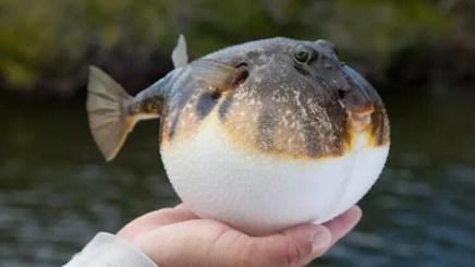 Son dakika… Balon balığı avcılığı destekleniyor.. Her kuyruk için 5 lira, bunu yapan ödeme alamayacak!