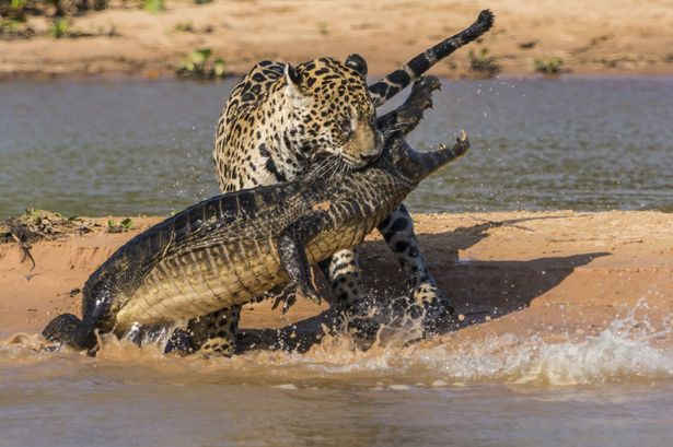 Jaguar attacks a Yacare Caiman