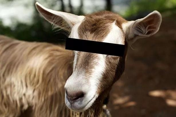 Fist Fuck A Goat