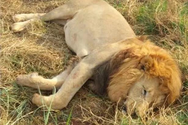 Image result for 3 Lions Poisoned
