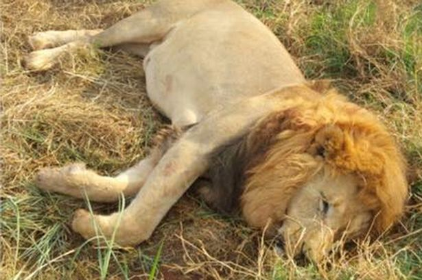 Image result for 3 Lions Poisoned