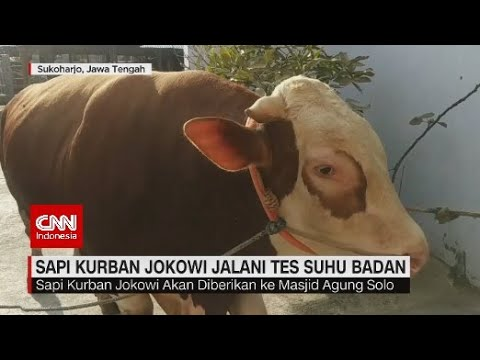 Sapi Kurban Jokowi Jalani Tes Suhu Badan