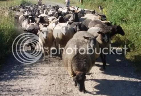 Sia hjälper till att flytta ca 200 får...