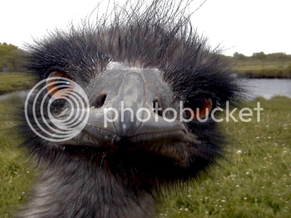 Emu photo emu_face001.jpg