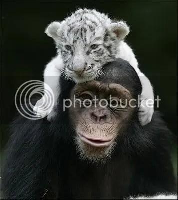 monyet harimau, JAMBI