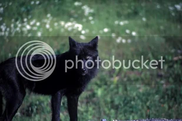 black Wolf 44
