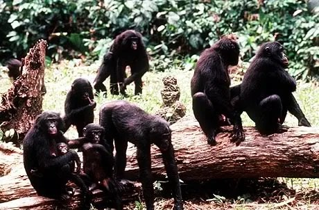 Bonobos in their natural habitat