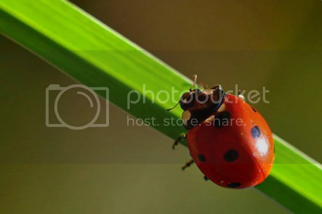 photo animals_ladybug-03.jpg