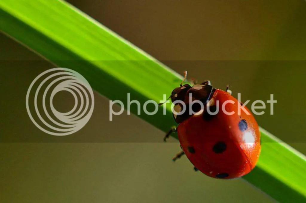 photo animals_ladybug-03.jpg