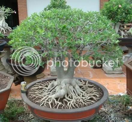 RCN Cutting dengan pengaturan akar
