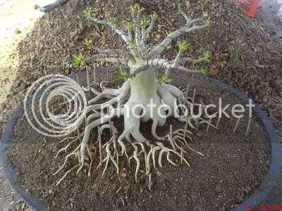 Gunakan batang lidi untuk mengatur posisi akar