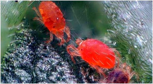 plaga araña roja