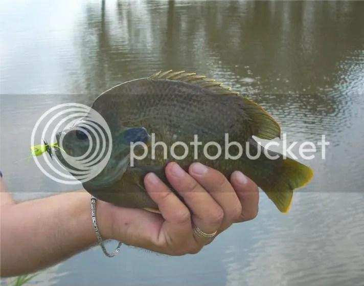 Farm pond fun _ hybrid bluegill