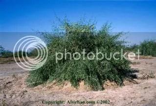 pohon siwak