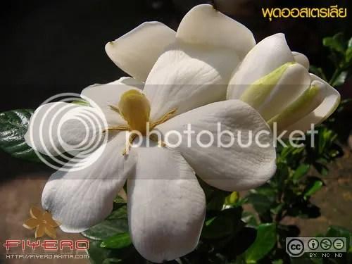 พุดออสเตรเลีย, พุดออสเตรเลียแคระ, พุด, Gardenia, ต้นไม้, ดอกไม้, ไม้ดอกหอม