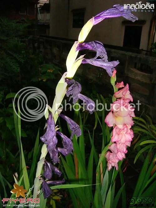 แกลดิโอลัส, Gladiolus, คำมั่นสัญญา, ซ่อนกลิ่นฝรั่ง, Gladiolus priscilla, Gladiolus hybrida, ไม้หัว, ไม้ดอก