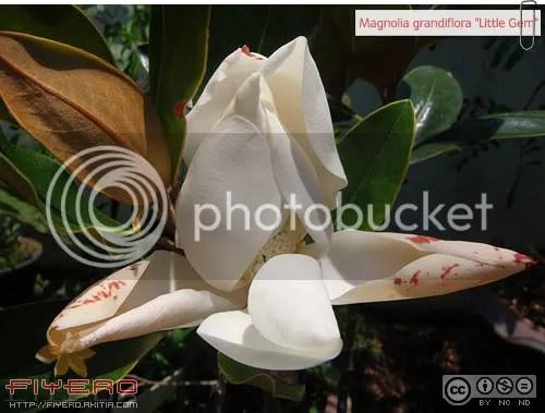 Magnolia grandiflora, Little Gem, แมกโนเลียดอกใหญ่, แมกโนเลียแกรนดิฟลอร่า, แมกโนเลีย, ต้นไม้หายาก, อากาศร้อน, ดอกไหม้, Magnolia, ต้นไม้, ดอกไม้, akitia.com