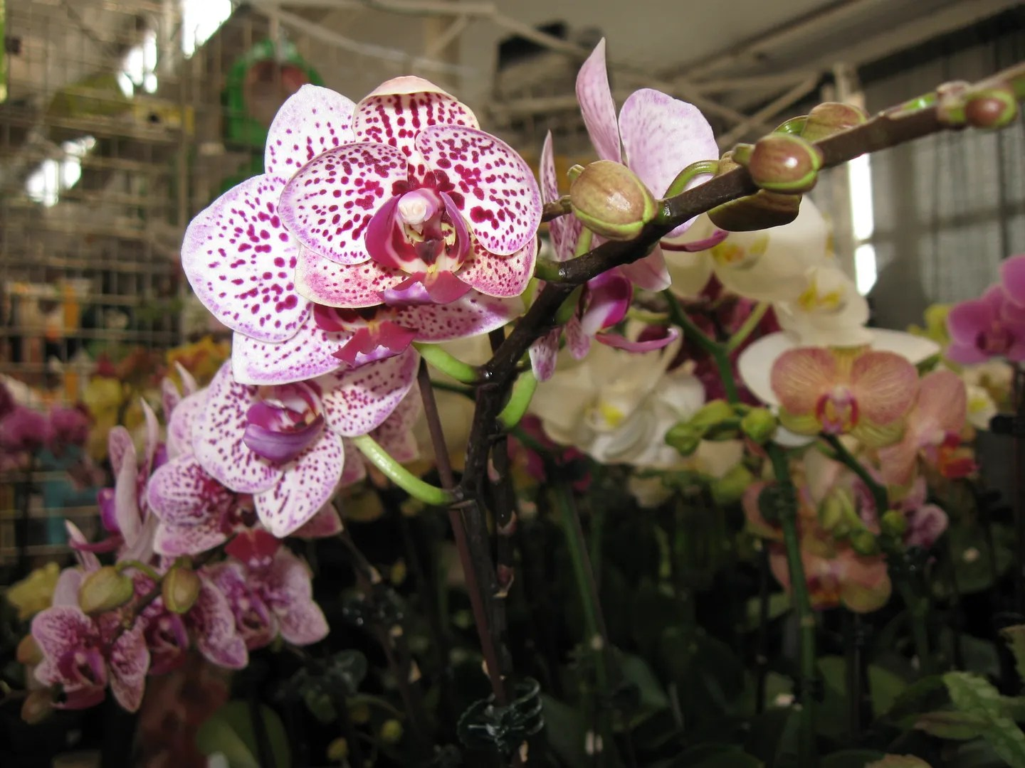speckled flower, Indiana Flower and Patio Show, Indianapolis