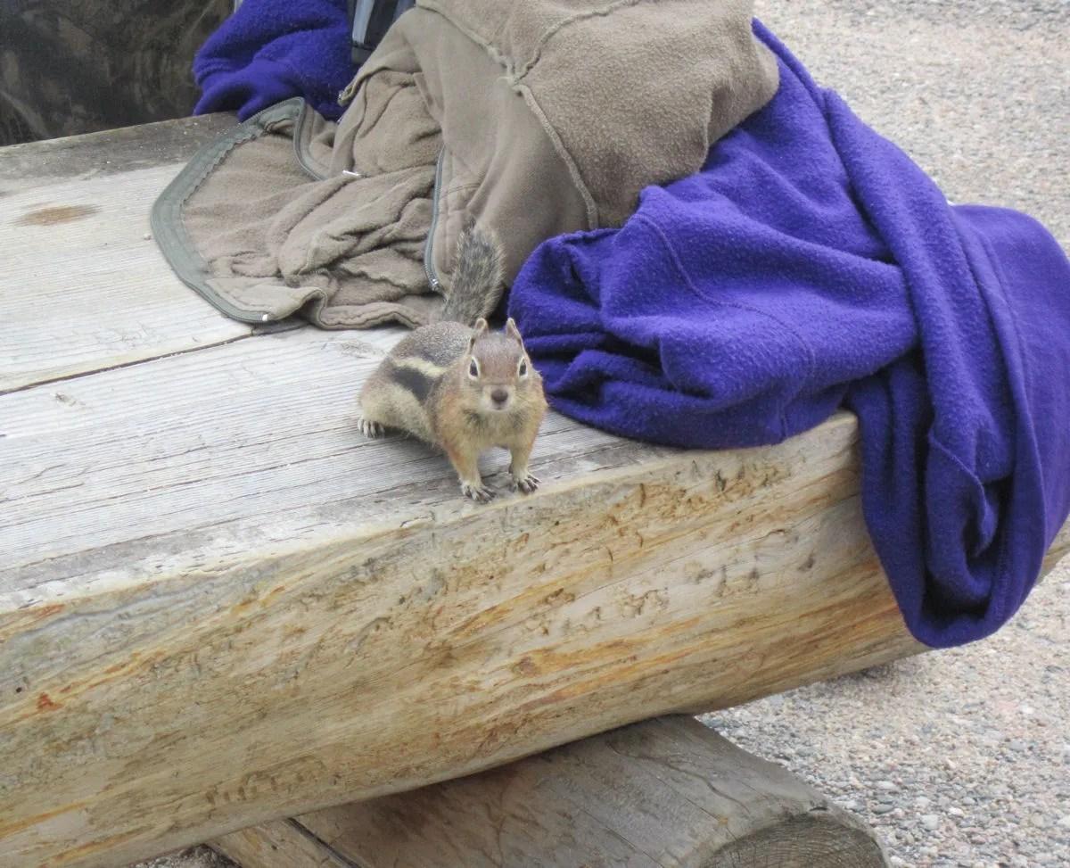 Colorado golden-mantled ground squirrel