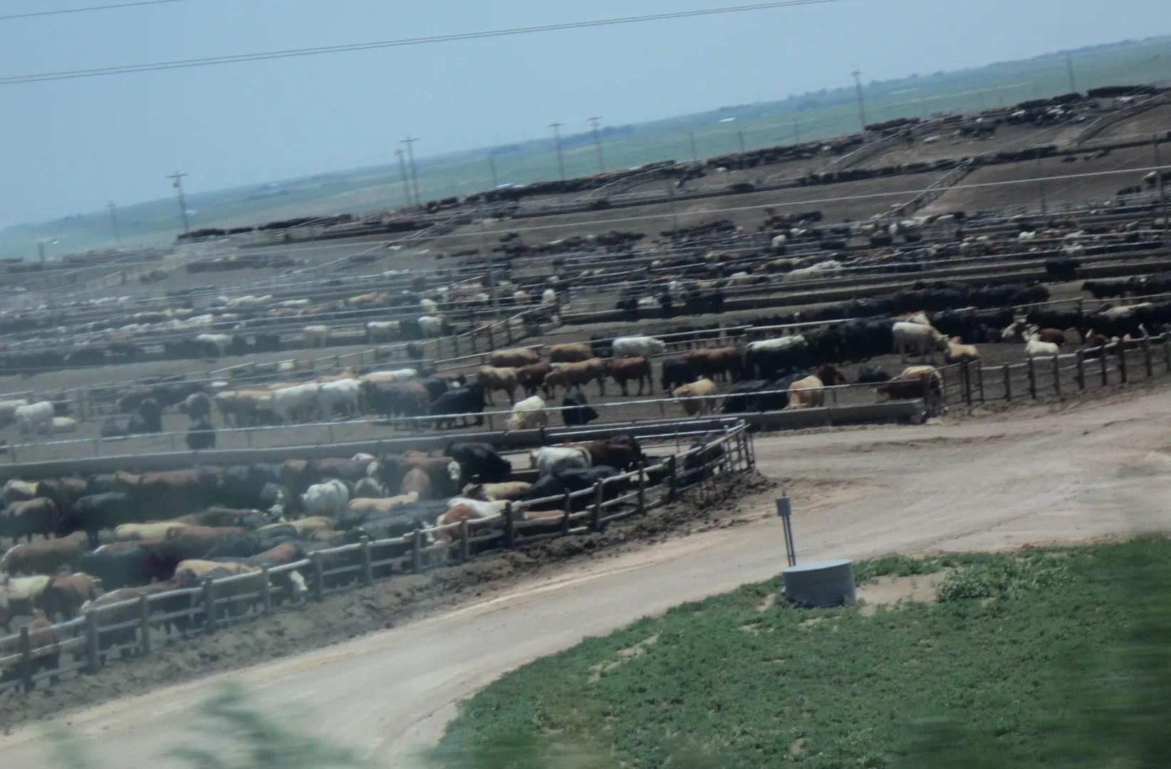 Kansas cattleyard