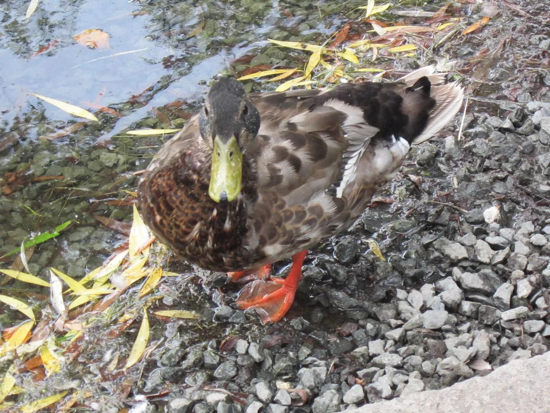 duck, Boston Public Garden