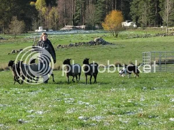Godkänd Vallhund i Gynge oktober 2006