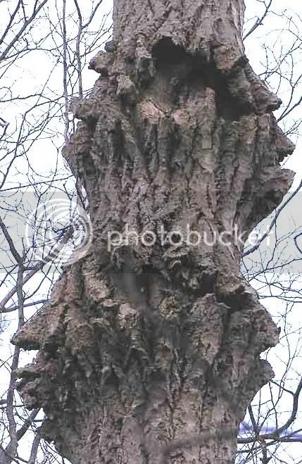Risultati immagini per alberi spaccati dal gelo