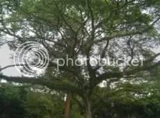 Rain Tree.