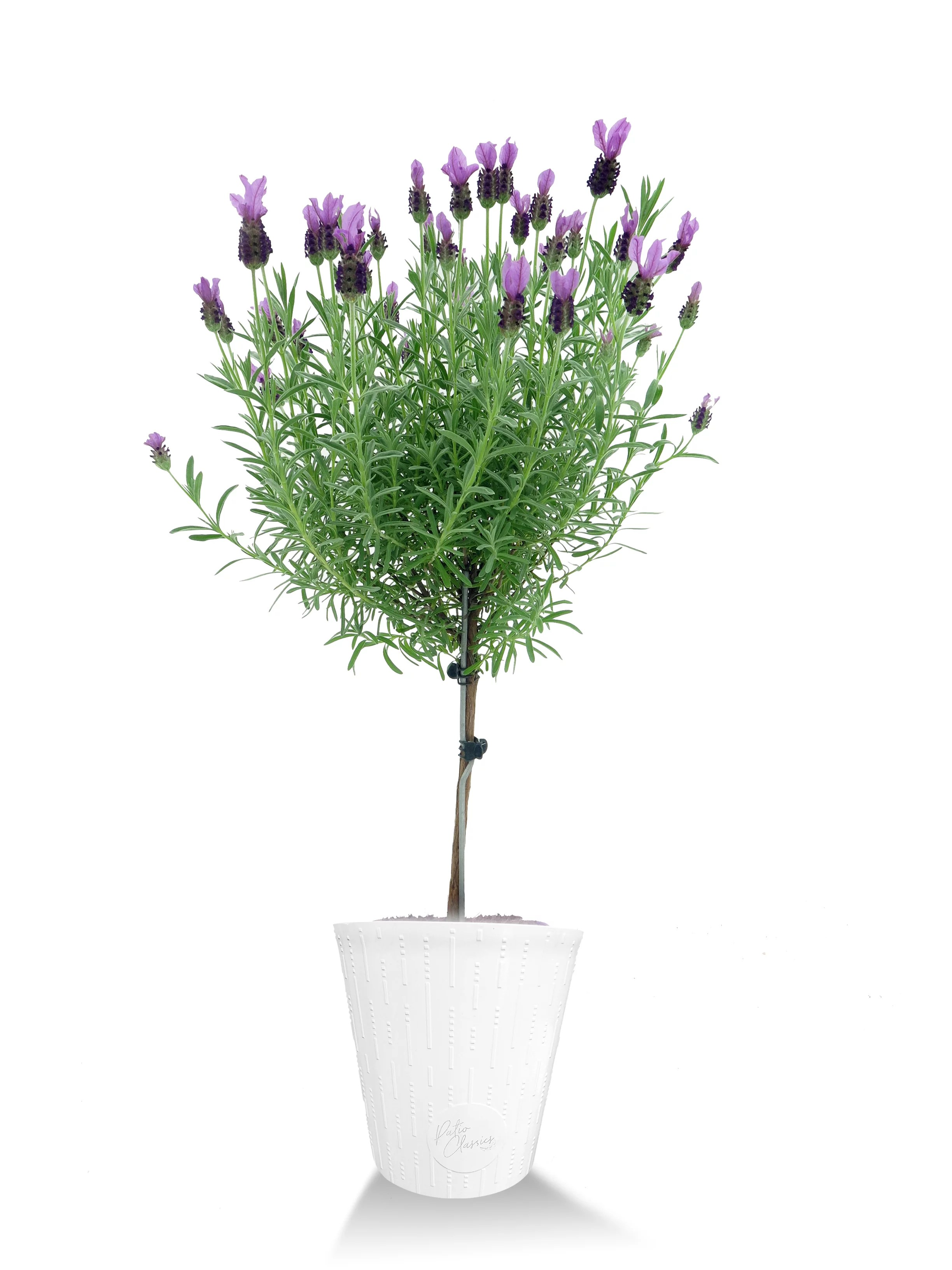 better homes and gardens outdoor live plant lavender patio tree 2 3qt