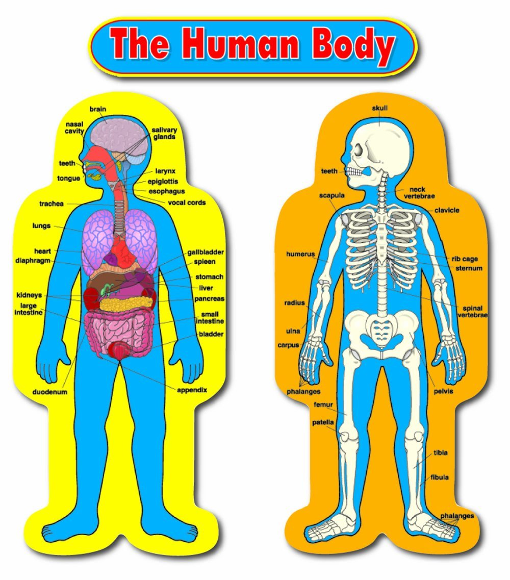 Image result for human anatomy for elementary students