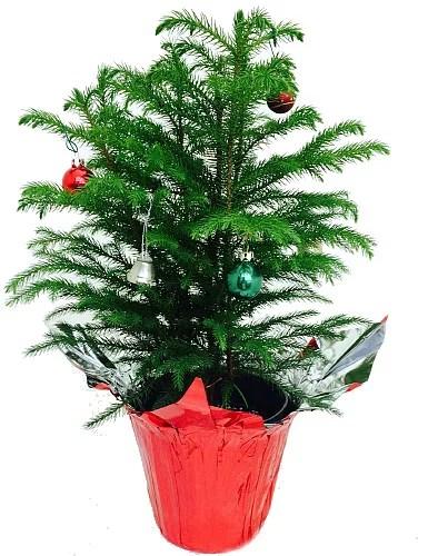 Norfolk Island Pine Christmas Tree 6 Pot Decorated