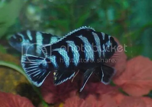 Cobalt Blue Zebra