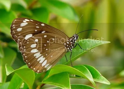 11April09025.jpg Butterfly image by ozwildbird