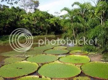 https://i1.wp.com/i512.photobucket.com/albums/t323/jweill99/Amazon%20Rainforest/giantlily.jpg Giant Amazon Water Lily