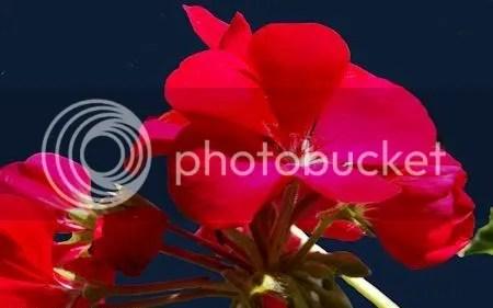 Geranium Merah