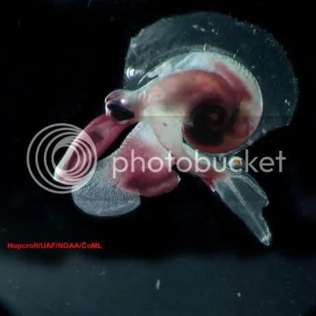 Oxygyrus keraudreni 461 Criaturas inacreditáveis do fundo do mar   parte 2   Curiosidades