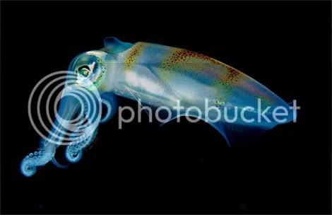 translucent squid portrait newbert  Criaturas inacreditáveis do fundo do mar   parte 2   Curiosidades