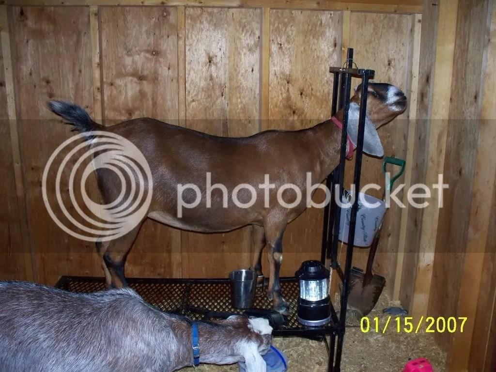 Tisha on milkstand
