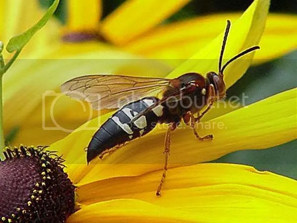 cicada_killer_wasp.jpg wasp image by JeffSCRes1