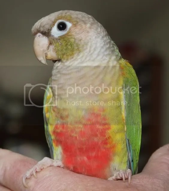 Pineapple GCC back/wing colors - Parrot Forum - Parrot ...