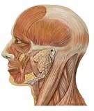 Lateral head anatomy