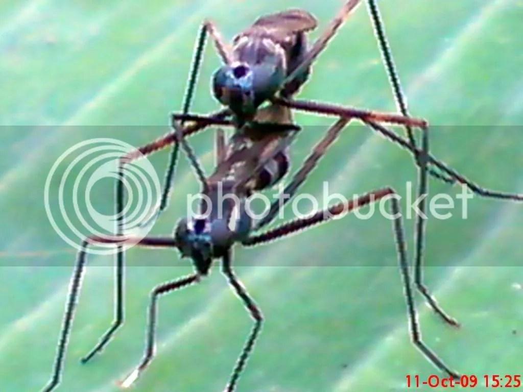 serangga kawin dan kawin 18