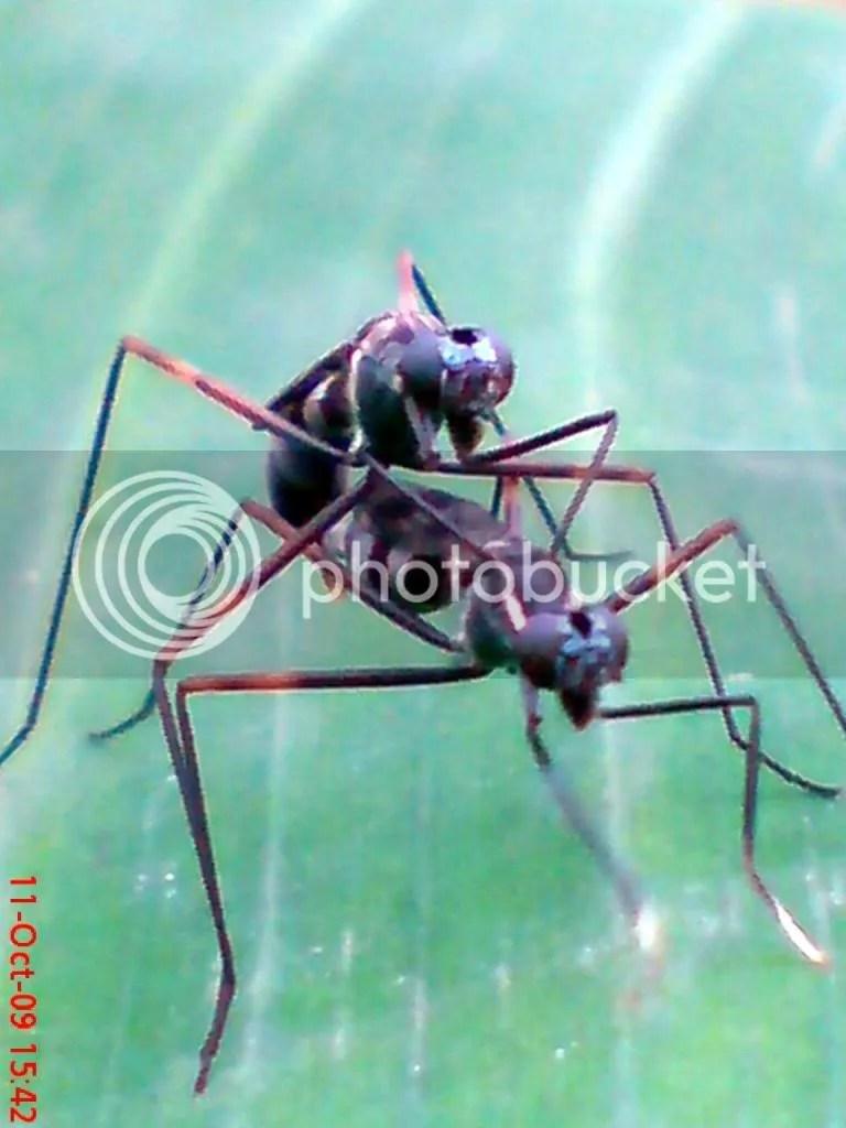 serangga kawin dan kawin 05
