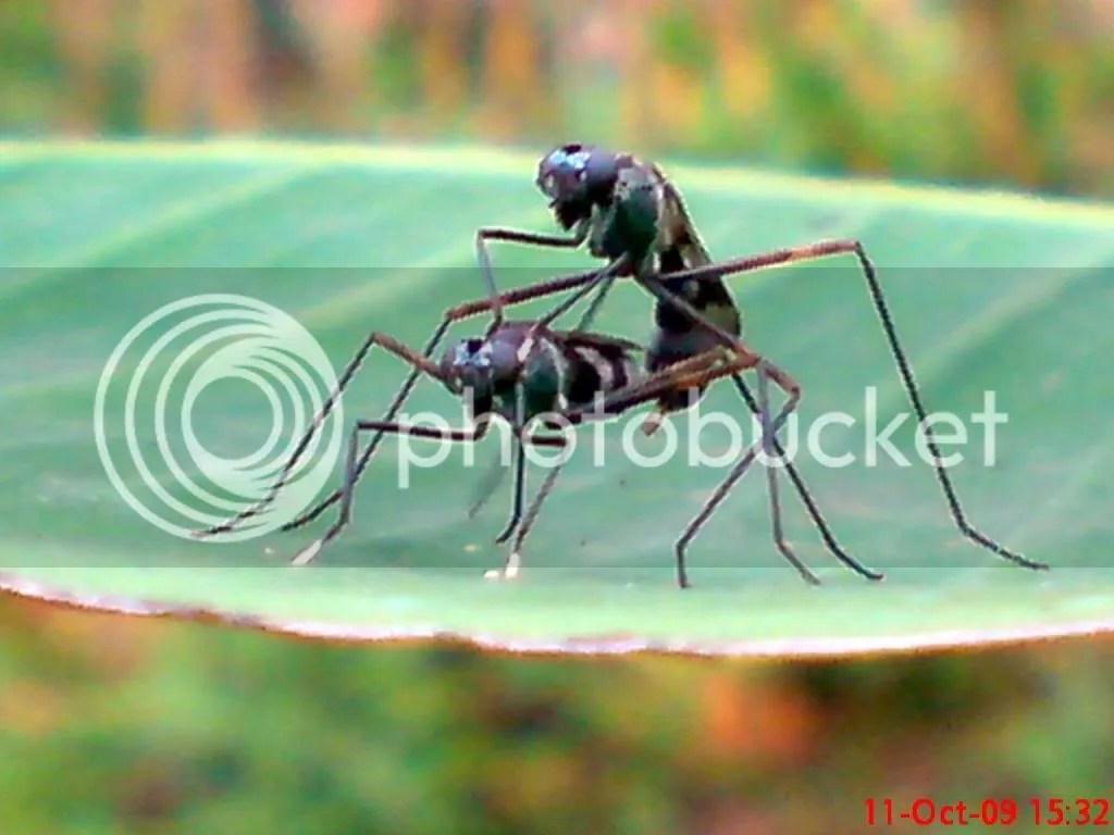 serangga kawin dan kawin 03